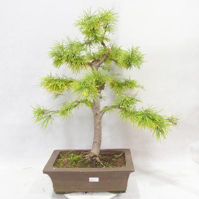Bonsai im Freien - Pseudolarix amabilis - Pamodřín - 1