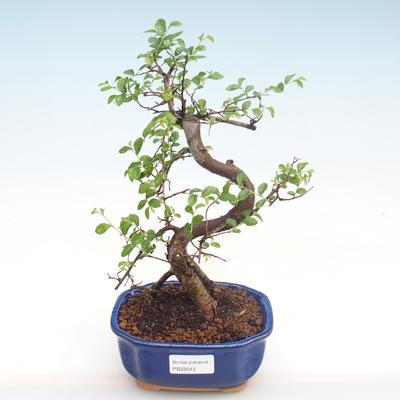 Innenbonsai - Ulmus parvifolia - kleine Blattulme PB22043 - 1