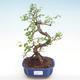 Innenbonsai - Ulmus parvifolia - kleine Blattulme PB22043 - 1/3