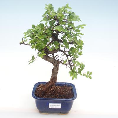 Innenbonsai - Ulmus parvifolia - kleine Blattulme PB22046 - 1