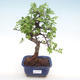 Innenbonsai - Ulmus parvifolia - kleine Blattulme PB22046 - 1/3