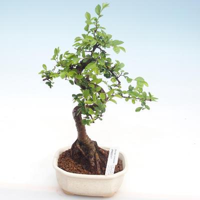 Innenbonsai - Ulmus parvifolia - kleine Blattulme PB22047 - 1