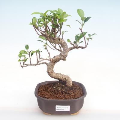 Indoor Bonsai - Ficus kimmen - kleiner Blattficus PB220048