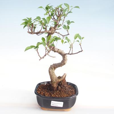 Indoor Bonsai - Ficus kimmen - kleiner Blattficus PB220049