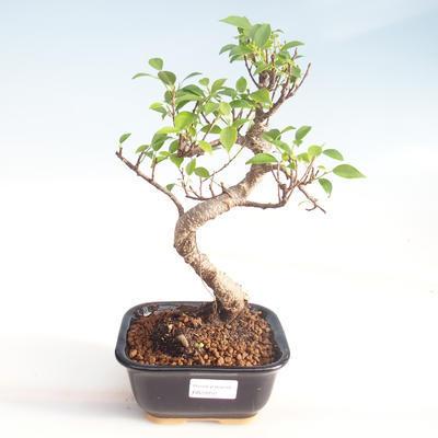 Indoor Bonsai - Ficus kimmen - kleiner Blattficus PB220050