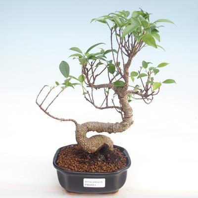 Indoor Bonsai - Ficus kimmen - kleiner Blattficus PB220051