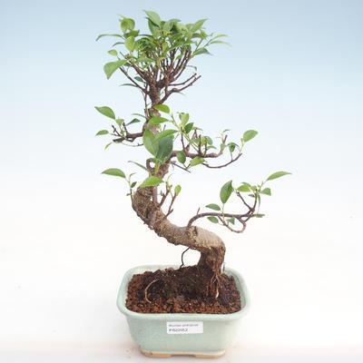 Indoor Bonsai - Ficus kimmen - kleiner Blattficus PB220052