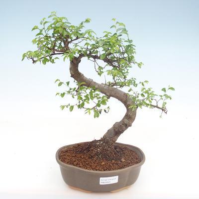 Innenbonsai - Ulmus parvifolia - kleine Blattulme PB22054 - 1