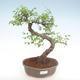Innenbonsai - Ulmus parvifolia - kleine Blattulme PB22054 - 1/3