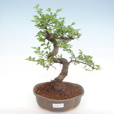 Innenbonsai - Ulmus parvifolia - kleine Blattulme PB22055 - 1