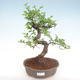 Innenbonsai - Ulmus parvifolia - kleine Blattulme PB22055 - 1/3