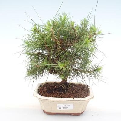 Indoor Bonsai-Pinus halepensis-Aleppo Kiefer PB2192061
