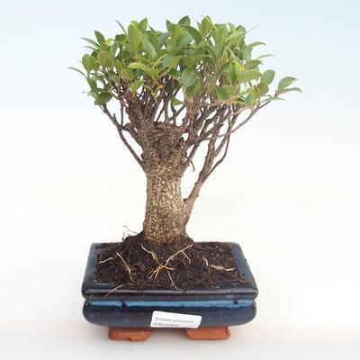 Innenbonsai - Ficus retusa - kleiner Blattficus PB22068 - 1