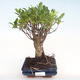Innenbonsai - Ficus retusa - kleiner Blattficus PB22069 - 1/2