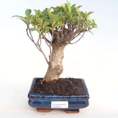Innenbonsai - Ficus retusa - kleiner Blattficus PB22073 - 1