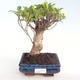 Innenbonsai - Ficus retusa - kleiner Blattficus PB22073 - 1/2