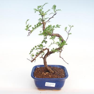 Indoor Bonsai - Zantoxylum piperitum - Pfefferbaum PB22075 - 1