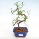 Indoor Bonsai - Zantoxylum piperitum - Pfefferbaum PB22075 - 1/4