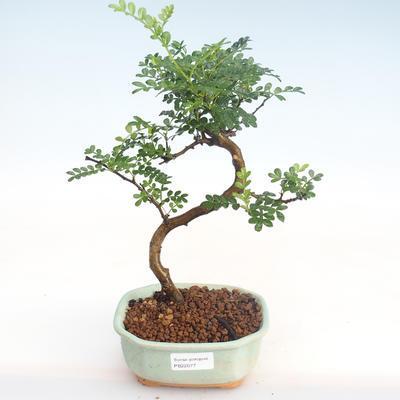 Indoor Bonsai - Zantoxylum piperitum - Pfefferbaum PB22077 - 1