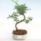Indoor Bonsai - Zantoxylum piperitum - Pfefferbaum PB22077 - 1/4
