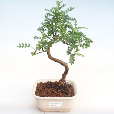 Indoor Bonsai - Zantoxylum piperitum - Pfefferbaum PB22078 - 1