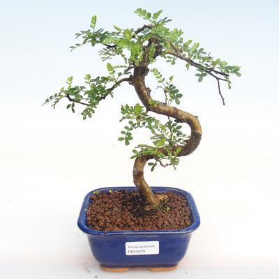 Indoor Bonsai - Zantoxylum piperitum - Pfefferbaum PB22079 - 1