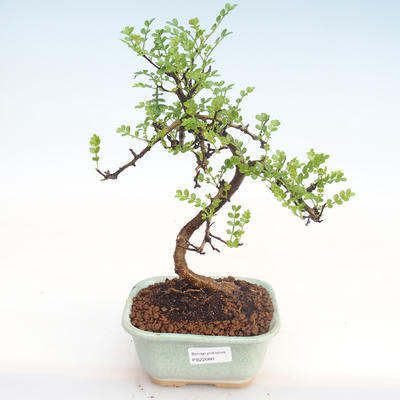Indoor Bonsai - Zantoxylum piperitum - Pfefferbaum PB22080 - 1