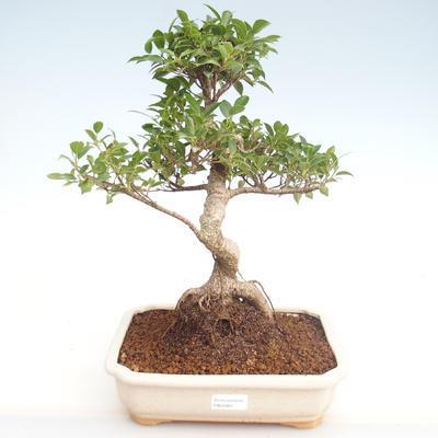 Innenbonsai - Ficus retusa - kleiner Blattficus PB22083 - 1