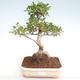 Innenbonsai - Ficus retusa - kleiner Blattficus PB22083 - 1/2