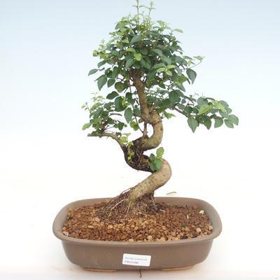 Innenbonsai -Ligustrum chinensis - Liguster PB22086 - 1