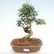Innenbonsai -Ligustrum chinensis - Liguster PB22086 - 1/3