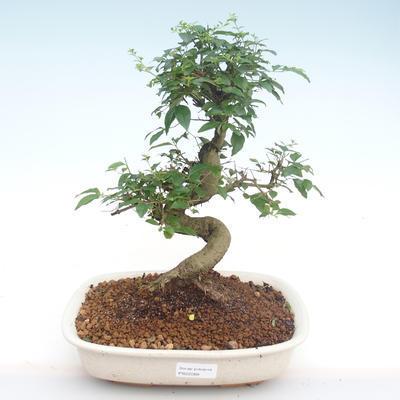 Innenbonsai -Ligustrum chinensis - Liguster PB22088 - 1