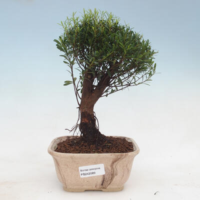 Innenbonsai -Ligustrum chinensis - Liguster PB22089 - 1