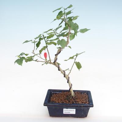 Indoor Bonsai - kleinblütiger Hibiskus PB22094 - 1