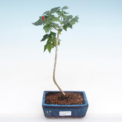 Indoor Bonsai - kleinblütiger Hibiskus PB22095 - 1