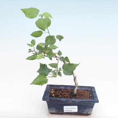 Indoor Bonsai - kleinblütiger Hibiskus PB22096 - 1