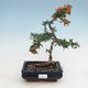 Outdoor Bonsai-Pyracanta Teton -Hlohyny - 1/2