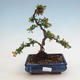 Outdoor Bonsai-Pyracanta Teton -Hlohyny - 1/2