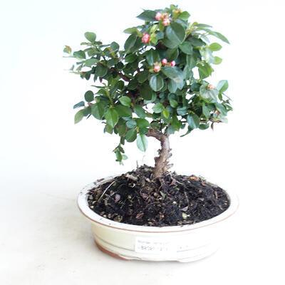 Outdoor Bonsai-Pyracanta Teton -Hlohyny - 1