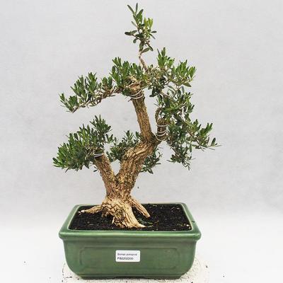 Innenbonsai - Buxus harlandii - Korkbuchsbaum - 1