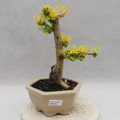 Indoor Bonsai -Ligustrum Aurea - Vogelschnabel - 1