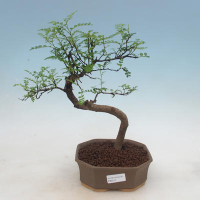 Indoor-Bonsai - Zantoxylum piperitum - Pfefferbaum - 1