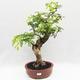 Indoor Bonsai -Phyllanthus Niruri- Smuteň - 1/6