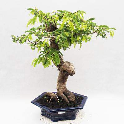 Indoor Bonsai -Phyllanthus Niruri- Smuteň - 1