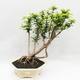 Indoor Bonsai -Phyllanthus Niruri- Smuteň - 1/5