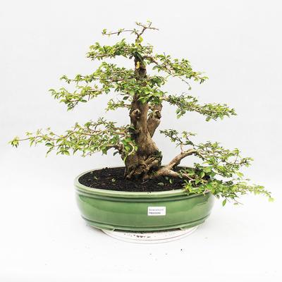 Indoor-Bonsai - Cudrania equisetifolia - 1