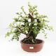 Indoor-Bonsai - Cudrania equisetifolia - 1/5
