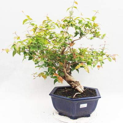Indoor Bonsai - Australische Kirsche - Eugenia uniflora - 1