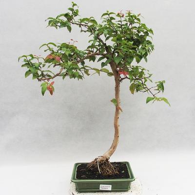 Zimmer Bonsai - Australische Kirsche - Eugenia uniflora - 1