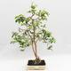 Indoor Bonsai - Australische Kirsche - Eugenia uniflora - 1/5